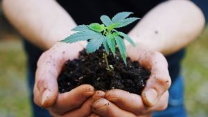 Close up of agronome hands keeping a sprout of biological and ecological hemp plants used for herbal pharmaceutical cbd oil outside the greenhouse