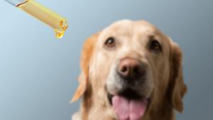 Dog taking CBD Hemp Oil from Tincture Dropper